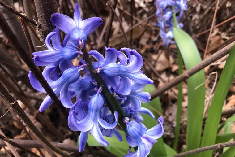 A hyacinth in bloom in Cherry Hill, N.J.  The 'first leaf' for lilacs came 16 days earlier than normal in 2020 because of warm weather.