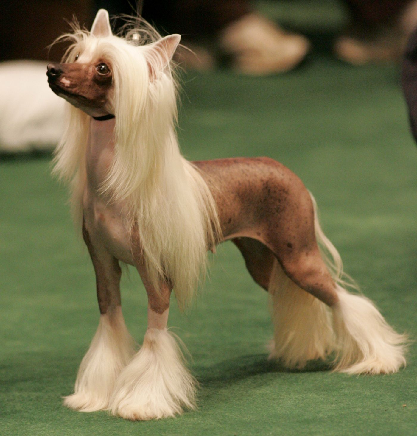 national dog show pictures of 10 of the weirdest breeds you can