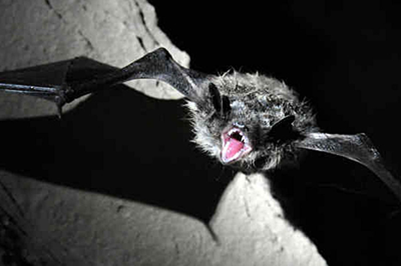 Solving the mystery of the dying bats