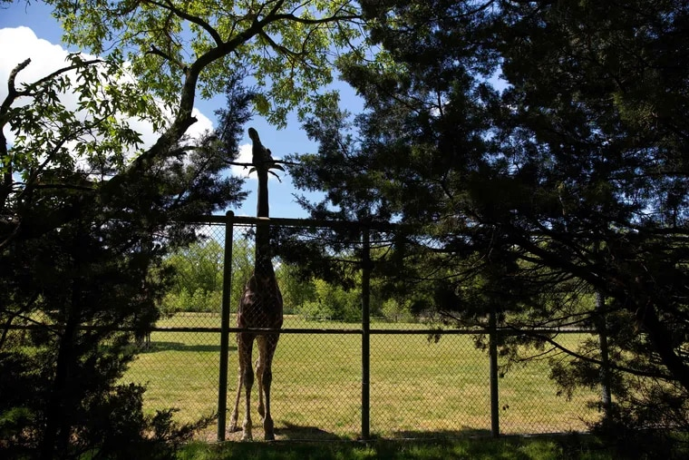 A giraffe reaches for leaves at Cape May County Zoo.