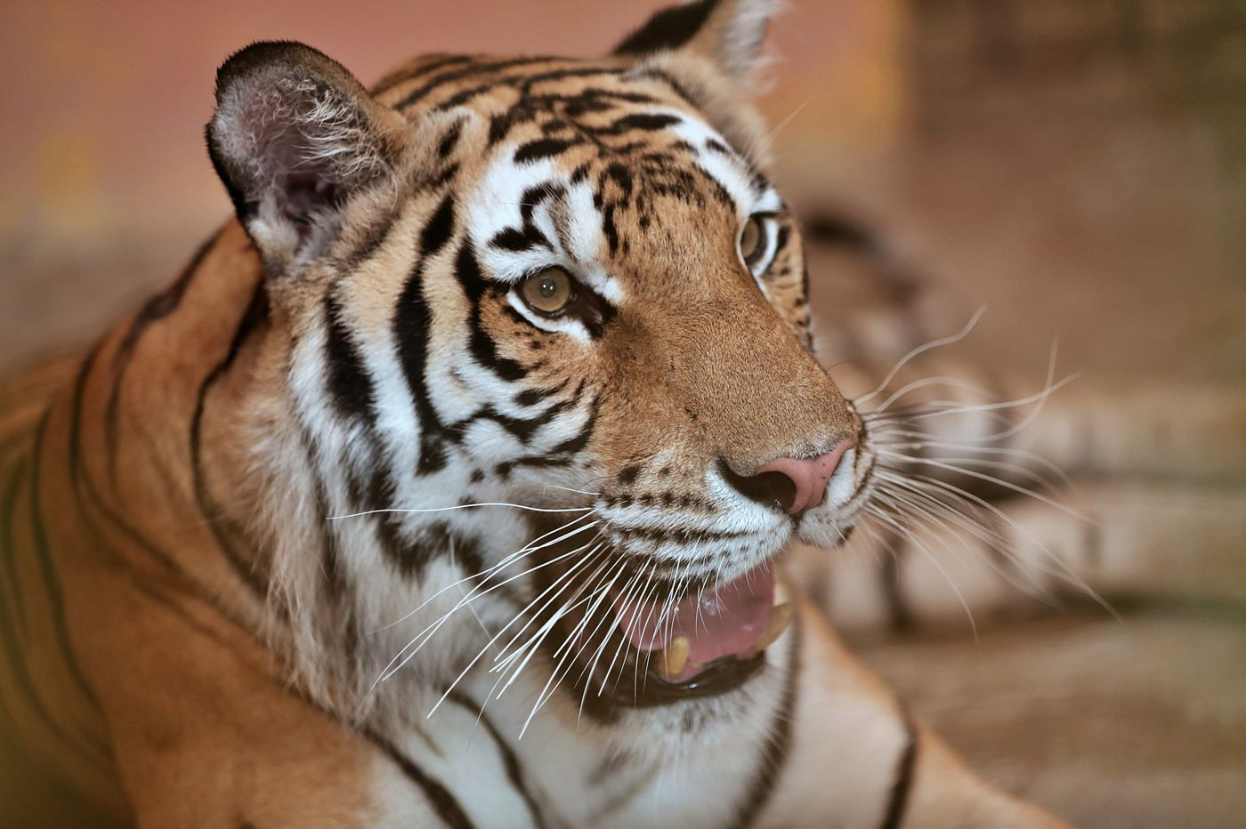 Feds charge N J  man with illegal purchase of $6,800 tiger-skin rug