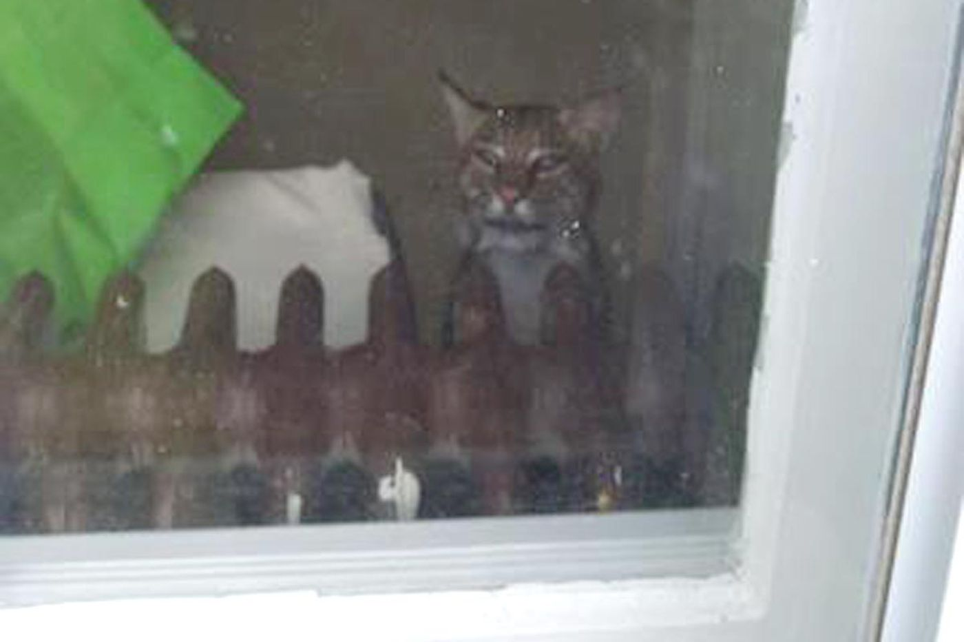 Bobcat gets into N.J. house; family hides in bathroom