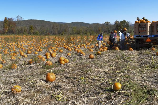 America's Halloween obsession, and migrant labor, helped one man become Pennsylvania's pumpkin king