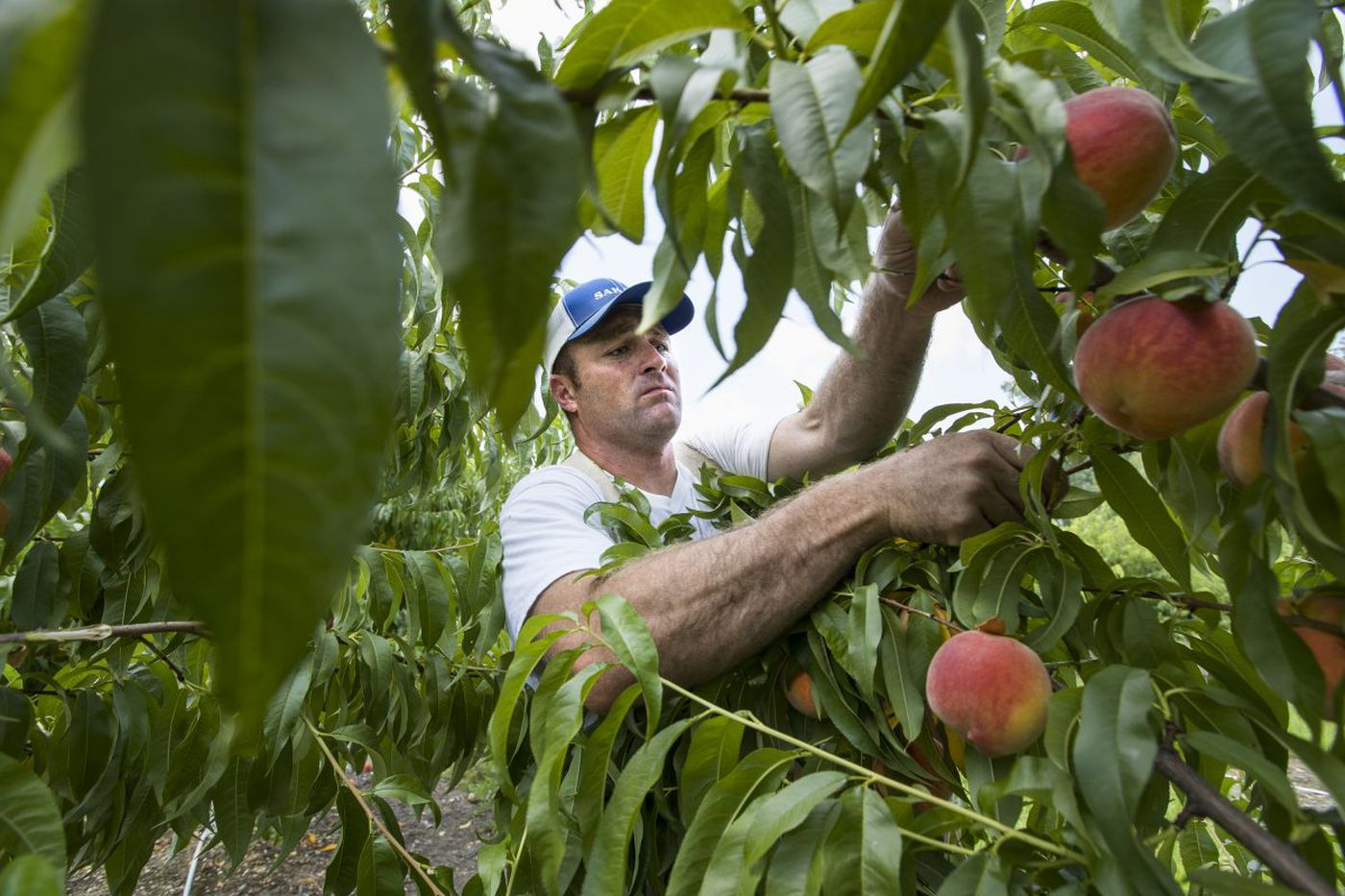 Banner year for Jersey peaches