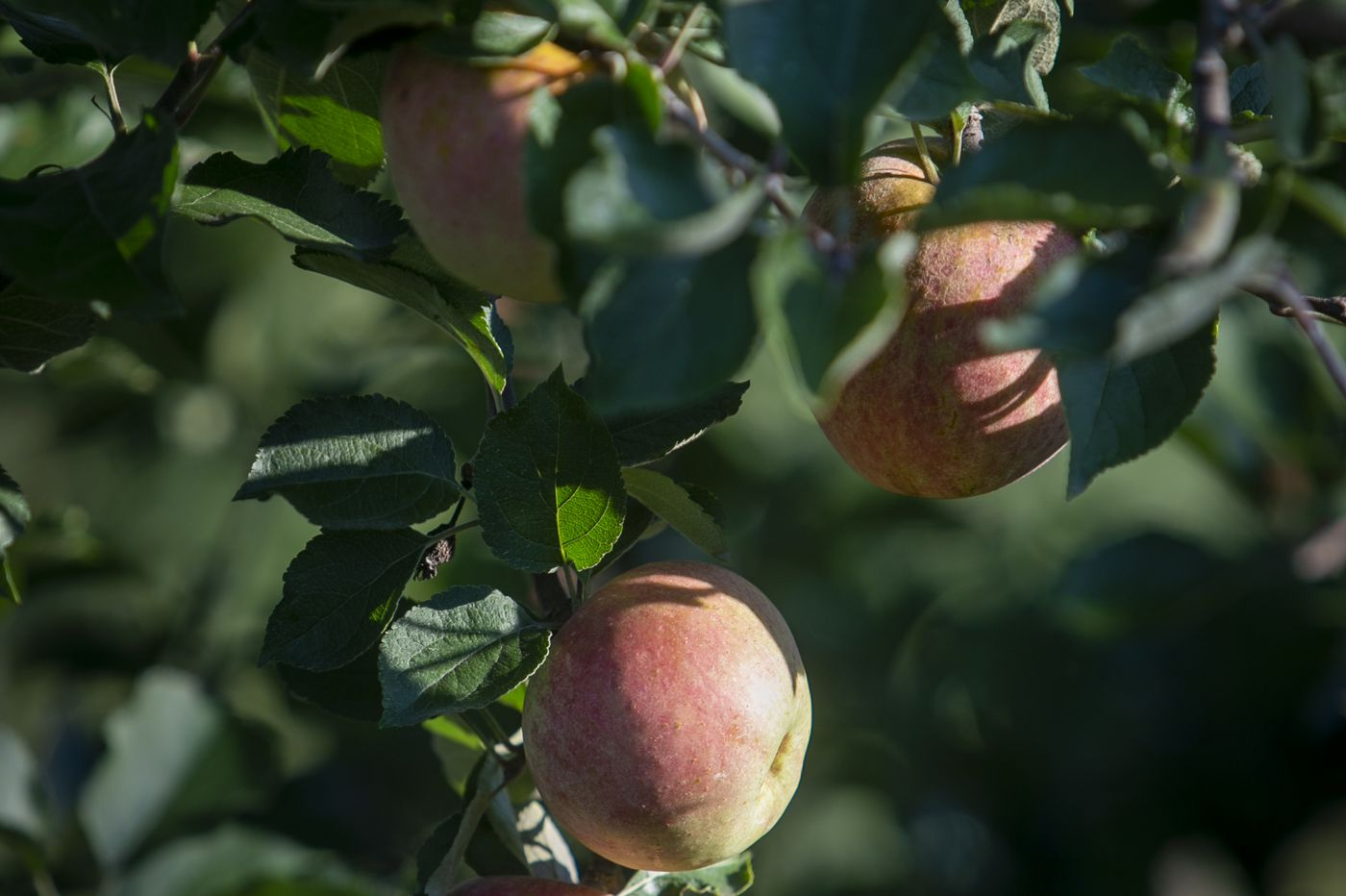 Want to pick apples? Better do it now | Let's Eat