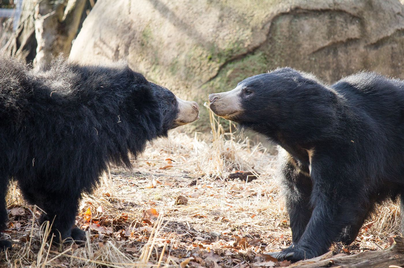 Congrats to this Philadelphia sloth bear couple that just had their first cub