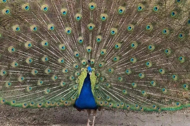 Popeye the peacock in Gloucester County, N.J.