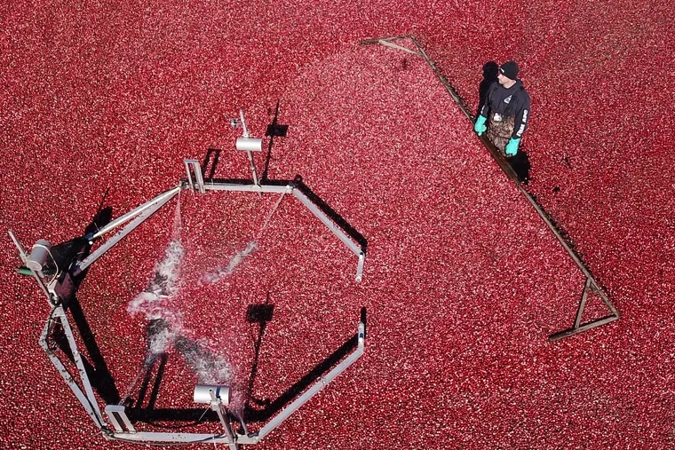 Ed Vincent pushes berries at a cranberry harvest in Chatsworth, New Jersey Wednesday October 17, 2018.