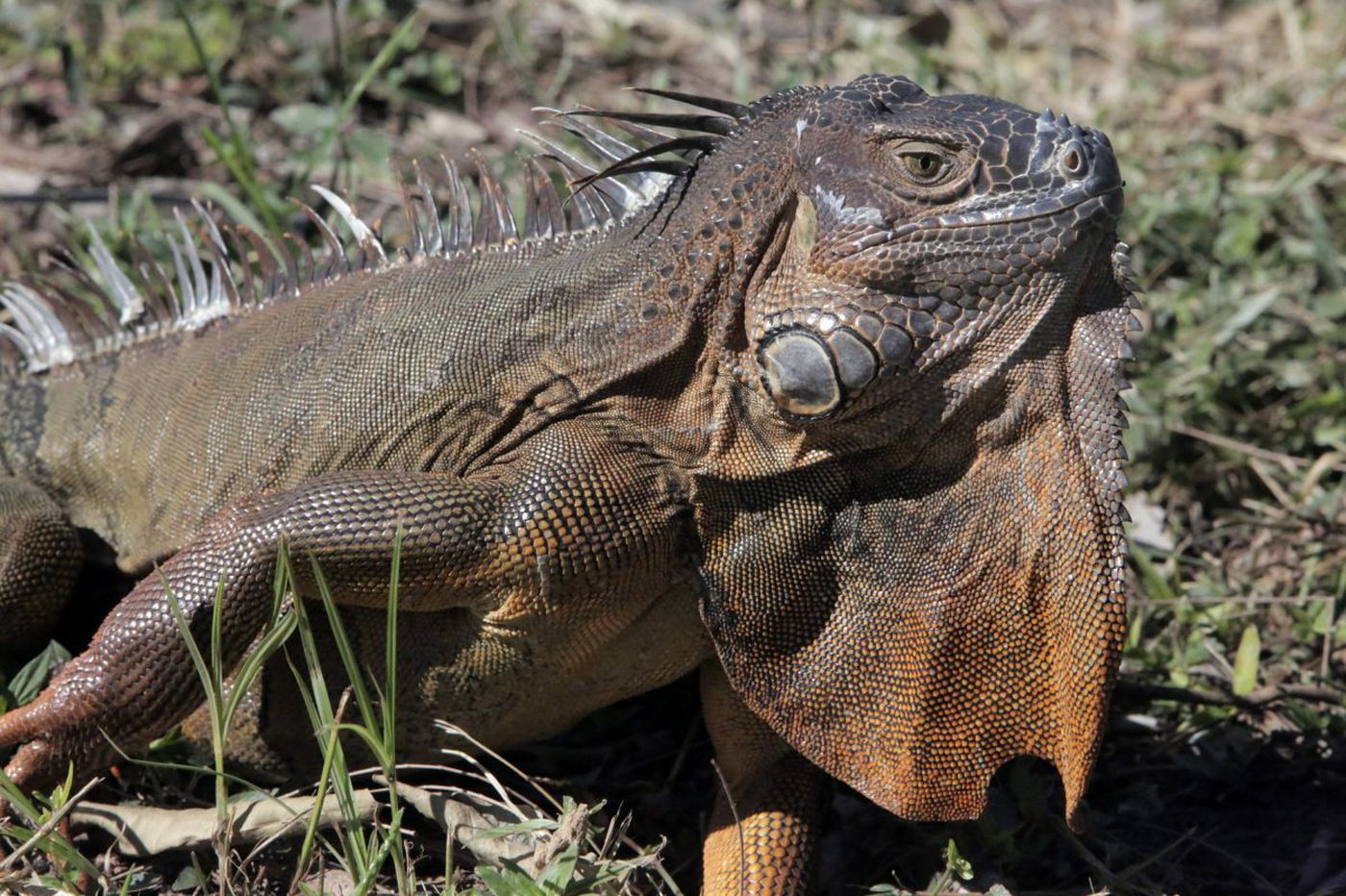 Iguanas are falling out of trees in Florida because it's so cold