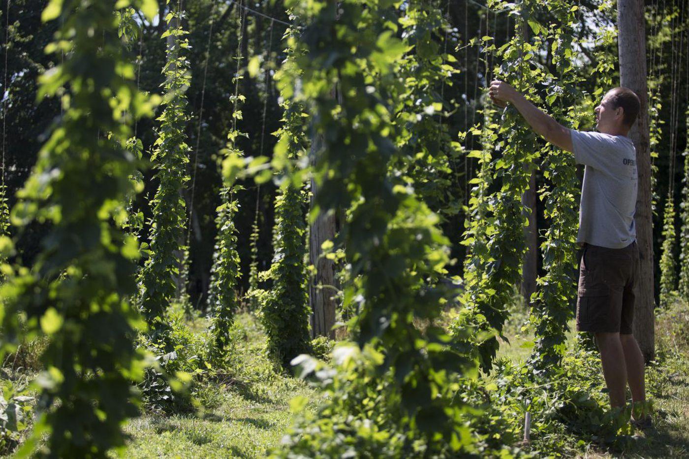 N.J. hops growers jump into trendy 'farm-to-mug' market
