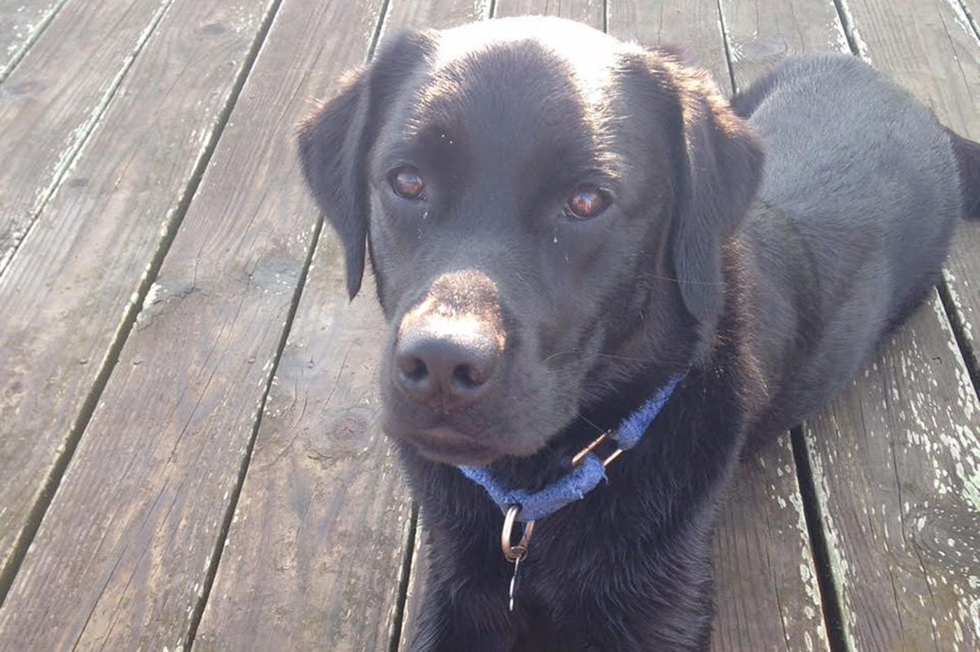 Medical mystery: Why was this Labrador retriever suddenly so weak?