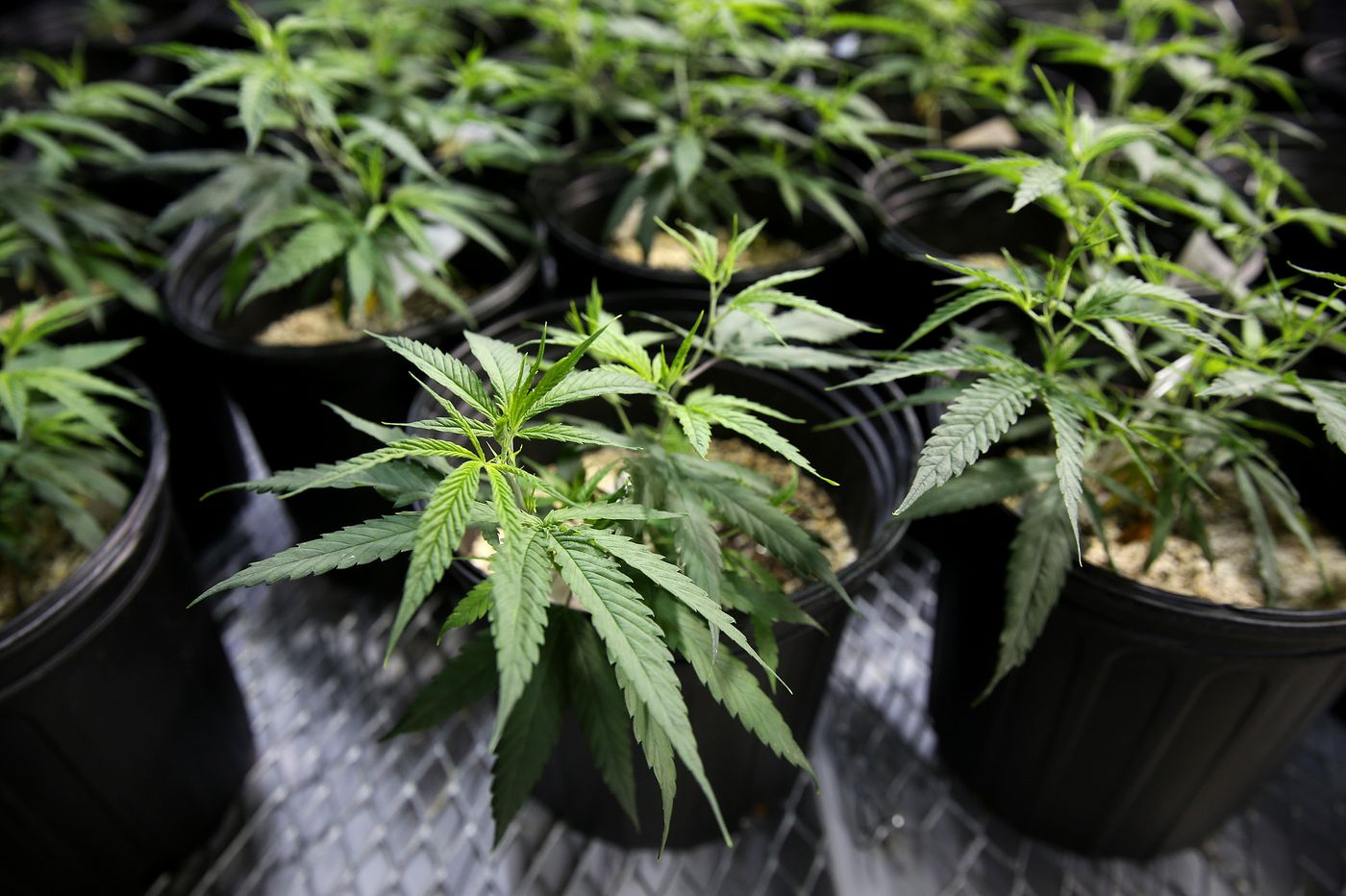 Medical marijuana sales in Pa. halted, again, by software crash