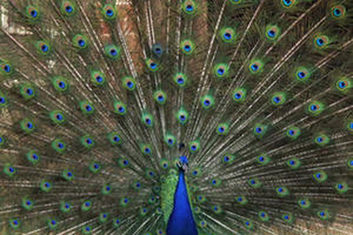 Carnal Knowledge | The allure of the peacock - both human and avian