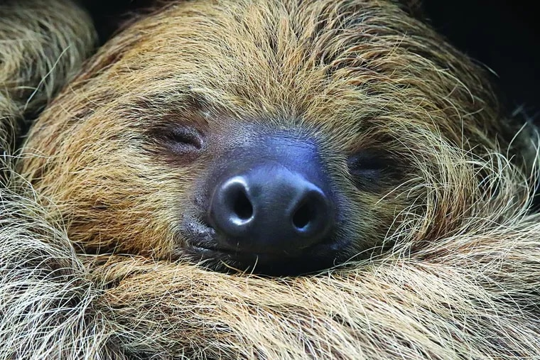 A sloth, at rest, Academy of Natural Sciences of Drexel University.