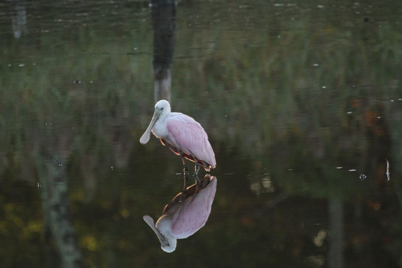 Far from home, a pink bird drifts over to South Jersey, and the hurricanes may be to blame