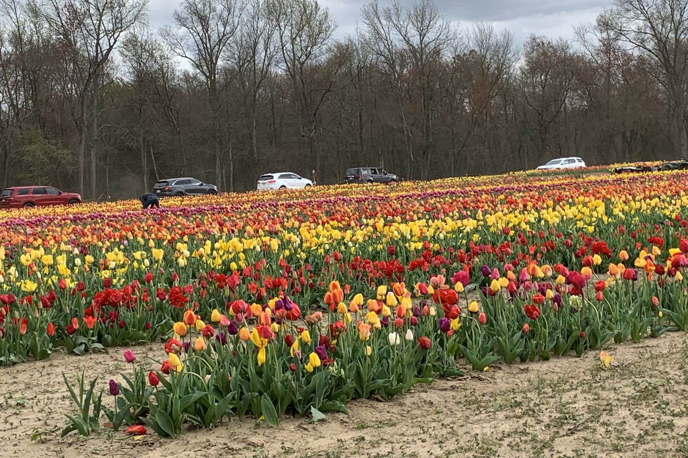 South Jersey Farm Ordered To Temporarily Stop Drive Through Tulip Tour