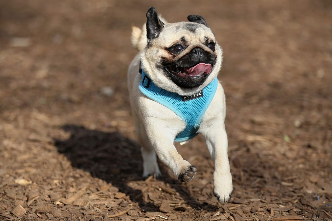 How my pug taught me to be an adult