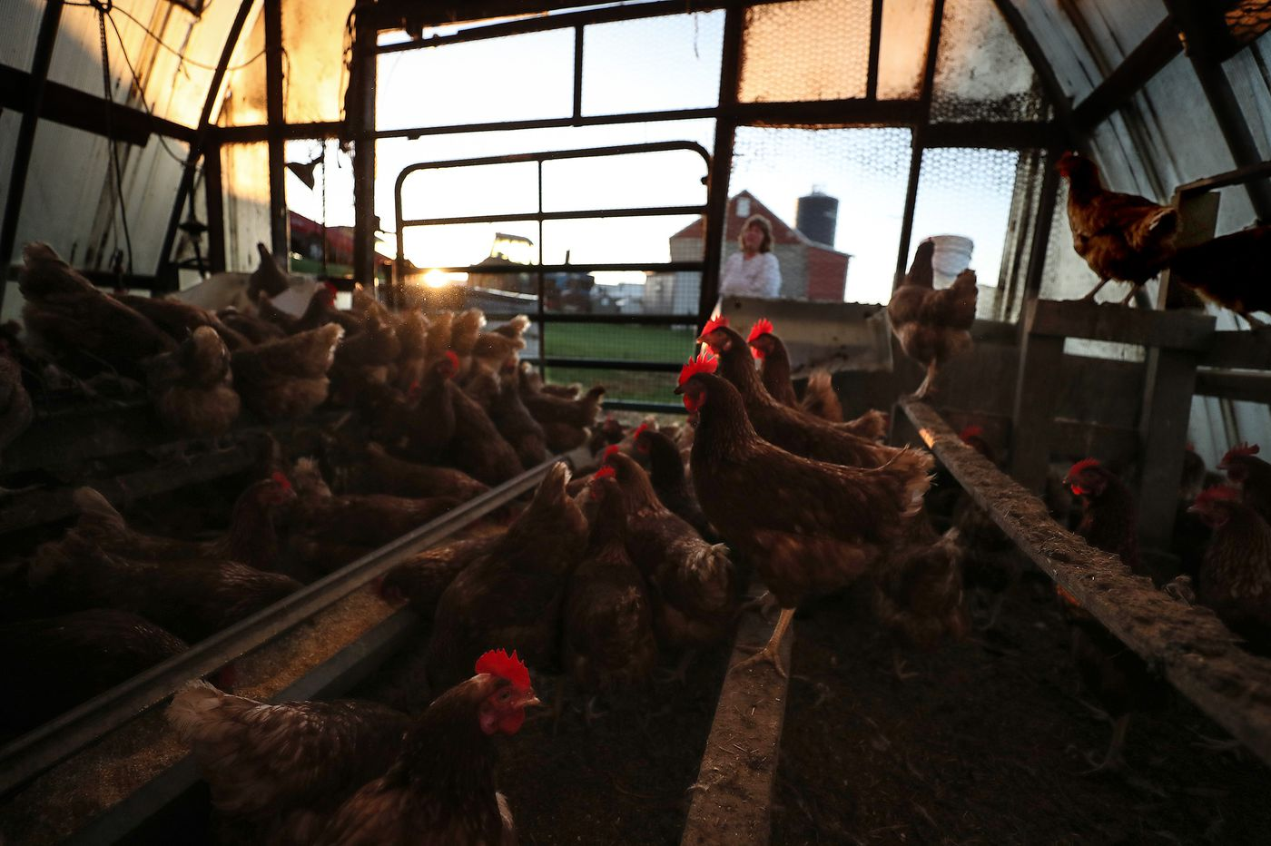 Why Pa. could see more chicken farming due to climate change