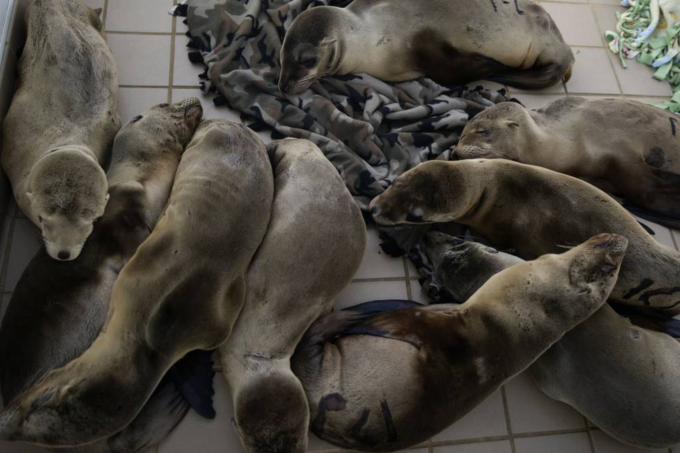 Motherless sea lions wash ashore in Calif.