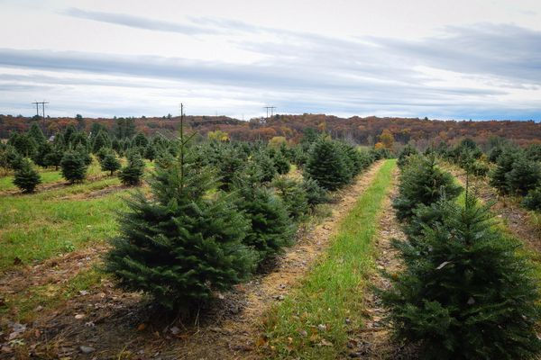 Real or artificial Christmas trees — which are worse for allergies?