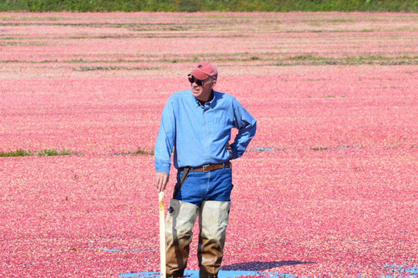 Overabundance of cranberries drops prices for growers