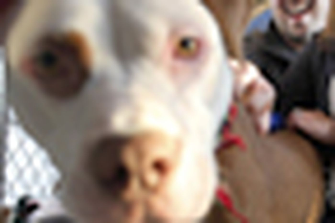 A new life, and new tricks, for an abused pit bull