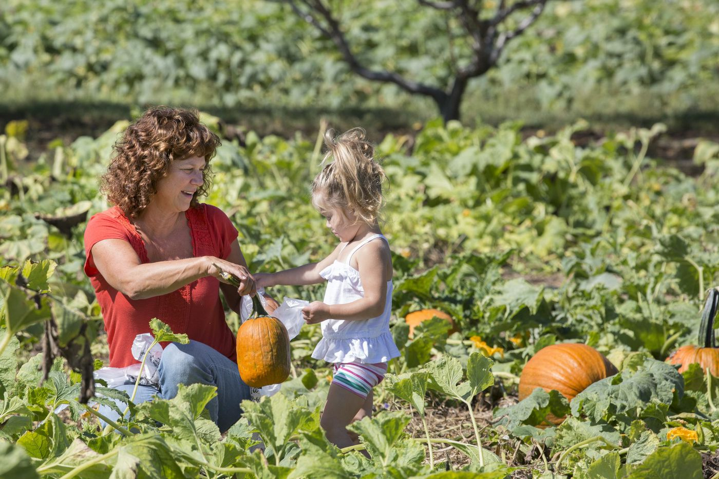 It might be tough to pick your own pumpkin on a Philly area farm this year. Here's why.