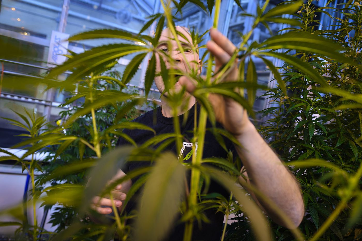 5a73bb994751 University of Connecticut grad student Peter Apicella works with a cannabis  plant in a UConn greenhouse
