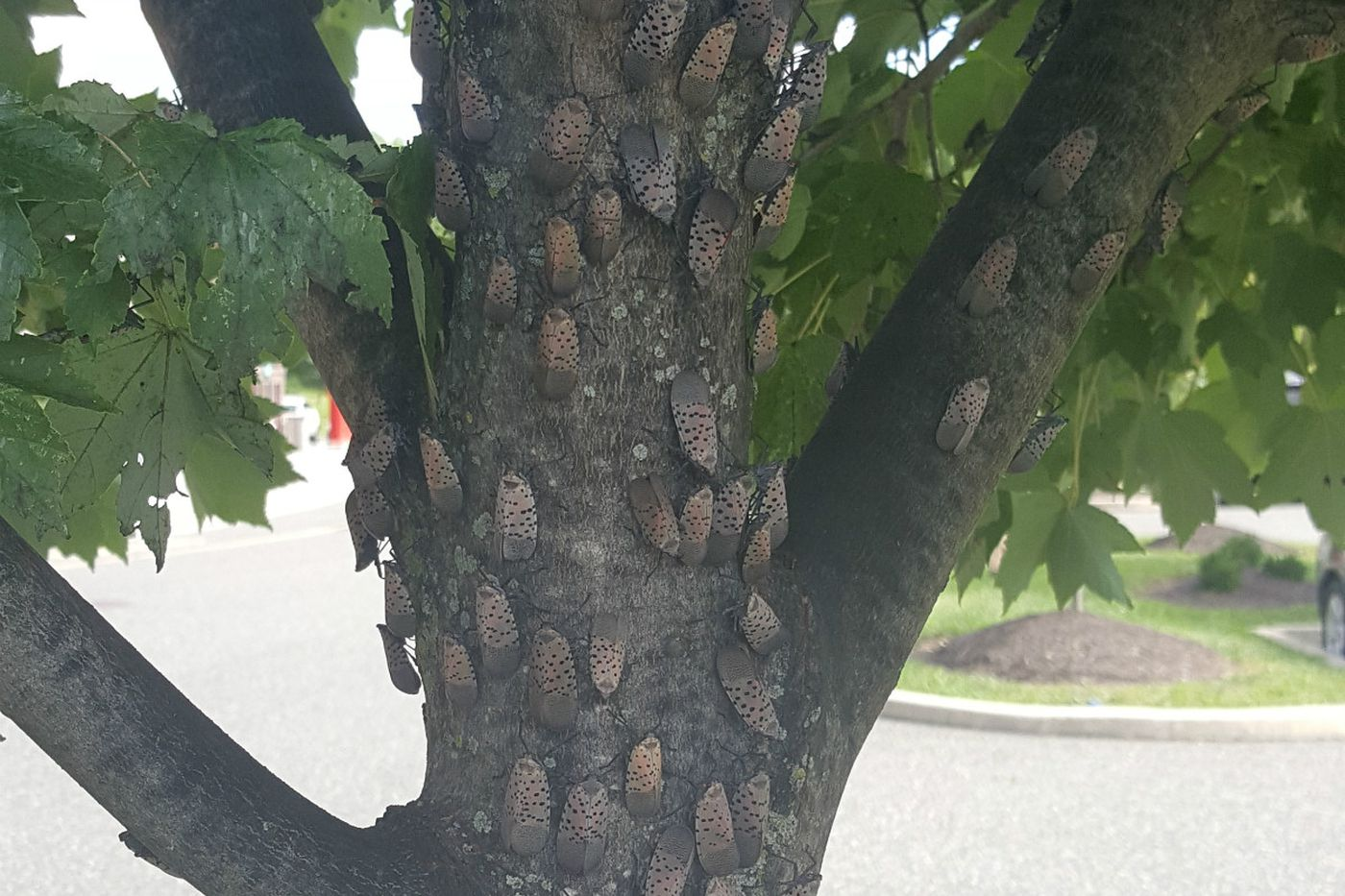 The invasion has begun: Dreaded spotted lanternfly lands in Philly