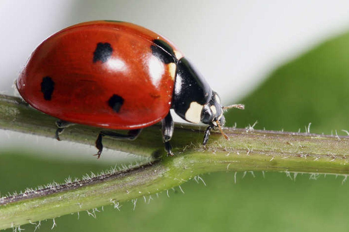 Massive Ladybug Swarm Over California Shows Up On Radar