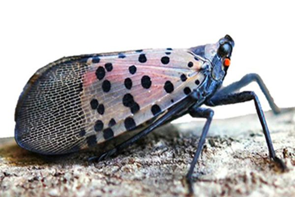 Crop-destroying spotted lanternfly, first discovered in Pa., now in N.J.