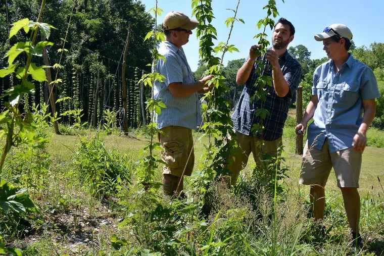 Hops farmers (from left) Beau Byrtus, Art Rhea, and Marylu Hansen at their Oast House Hop Farm in Wrightstown, N.J. Even some of the region's brewers are planting hops.