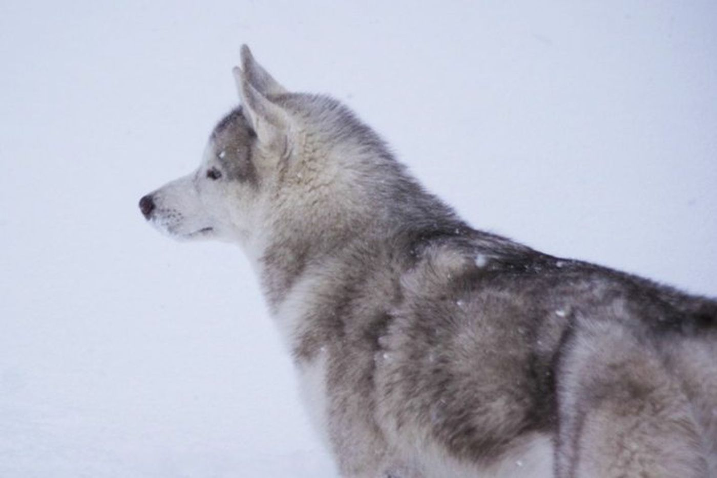 Medical mystery: The husky that would not heal