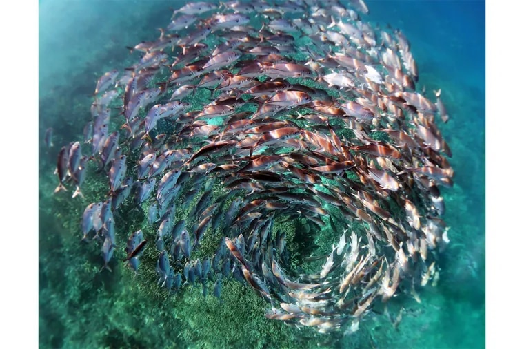 University of Pennsylvania biologist Kristen Brown won a photo contest for this image of a school of jack fish, which she shot in 2021 in the waters of Heron Island on Australia's Great Barrier Reef.