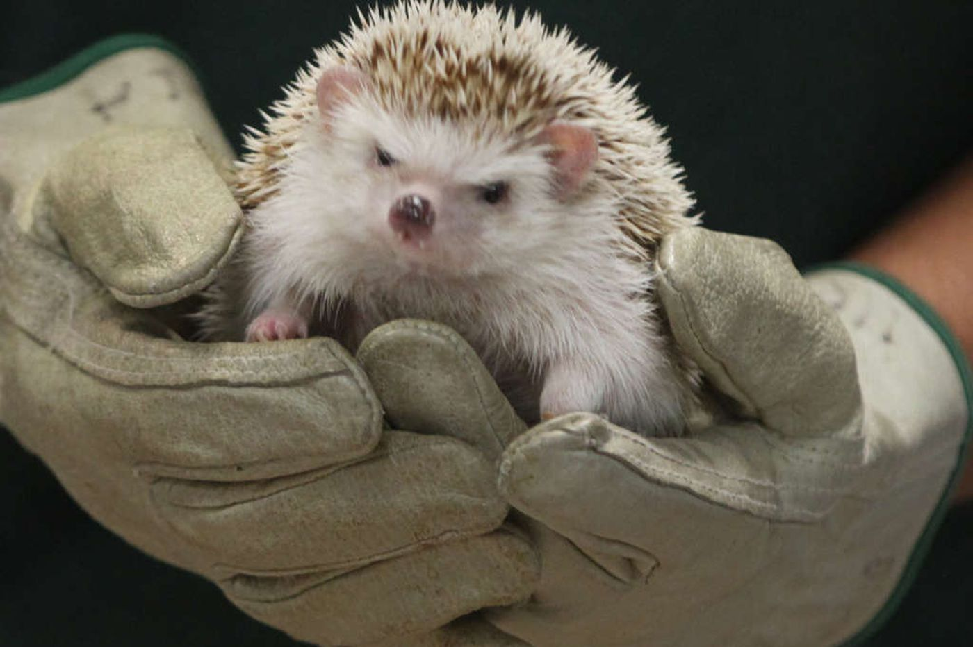 CDC issues salmonella warning about snuggling pet hedgehogs
