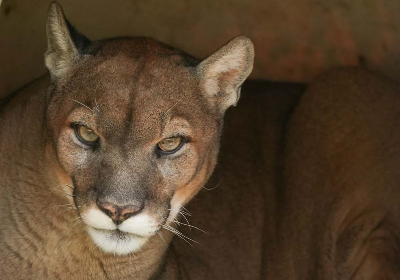 Spotting mountain lions is becoming a Pennsylvania pastime ...