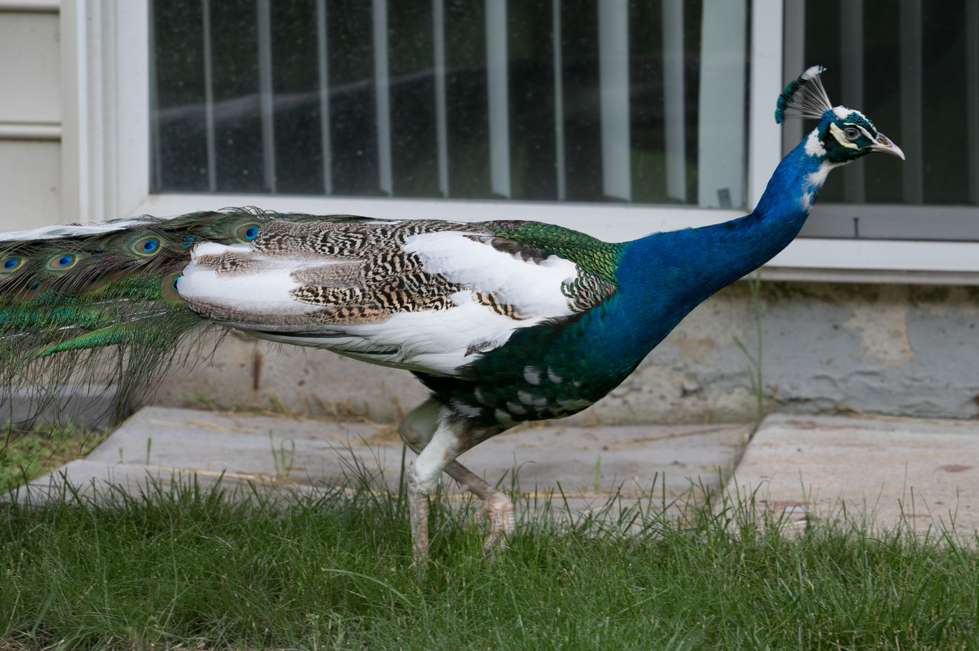 In Malvern, 'Harry the Peacock' has found a home