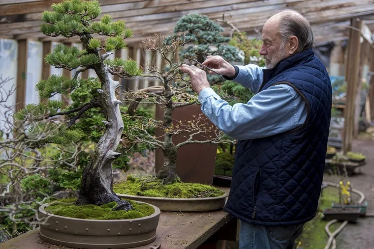 Bonsai master Chase Rosade, 82, prunes a Japanese maple bonsai in his New Hope studio March 8, 2017, next to a Japanese white pine.  He started the Japanese maple bonsai in 1958 as a seedling.  Rosade will be exhibiting one of his bonsai trees along with many of his students' creations at the Philadelphia Flower Show.