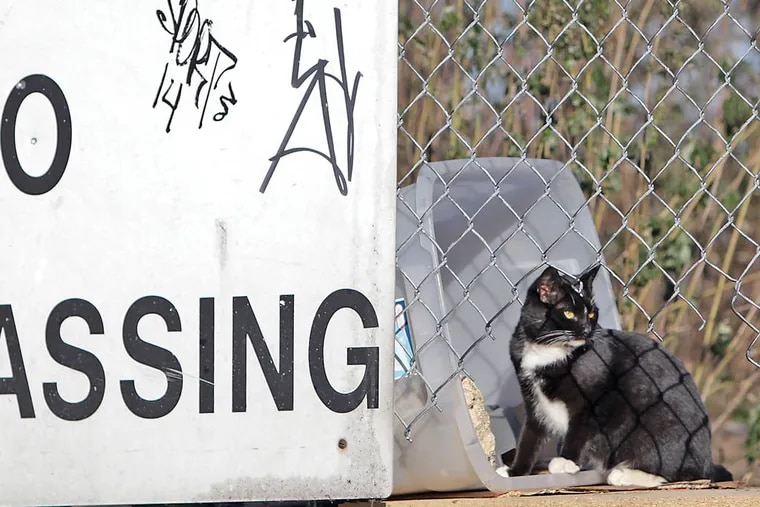 A stray cat pauses while feeding at a cat colony at Pier 70 in South Philadelphia on November 19, 2014. ( DAVID MAIALETTI / Staff Photographer )
