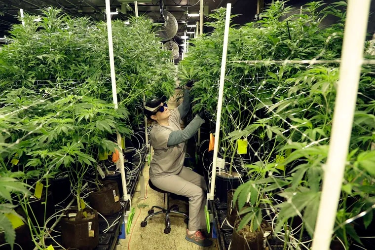 Heather Randazzo, a grow employee at Compassionate Care Foundation's medical marijuana dispensary, trims leaves off marijuana plants in the company's grow house in Egg Harbor Township, N.J.
