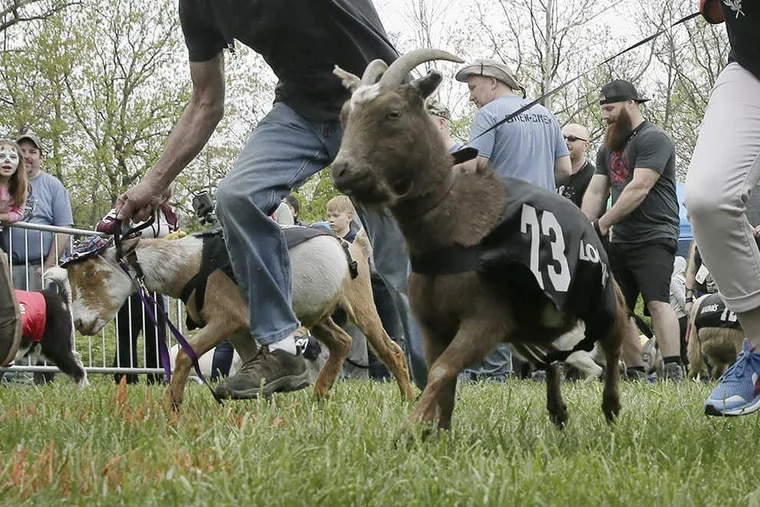 Contestants begin one of the semi-final heats during the annual Sly Fox Bock Fest and Goat Race held at the Sly Fox Brewery and tasting room in Pottstown, Pa. on May 6, 2018.