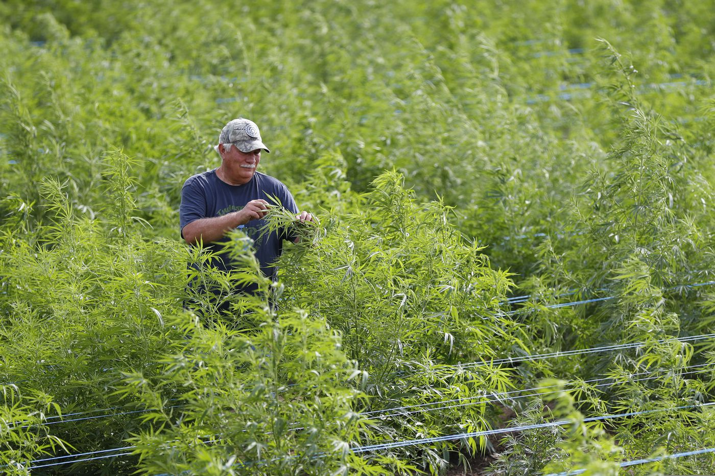 Coming soon: 'Jersey Fresh' hemp. Anyone with a permit can farm it.
