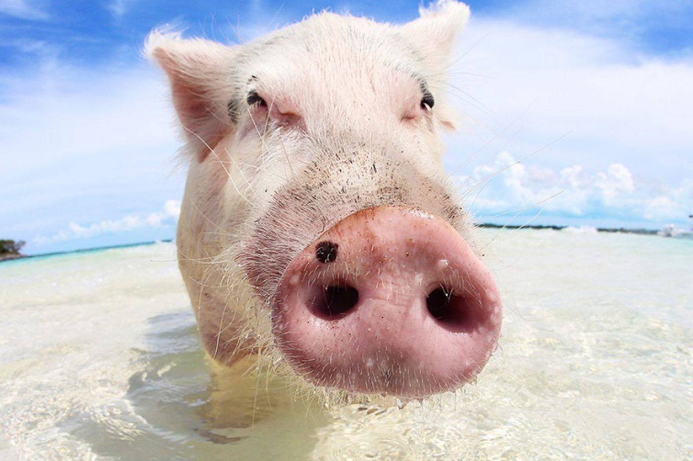 Bahamas' swimming pig attractions are out of control, animal rights advocates say