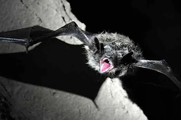 A little brown bat , the nation's most numerous, wakes up in a Mifflin County cave, where a count found most died in a year. White-nose syndrome's exact role is uncertain. (DARRELL SAPP / Pittsburgh Post-Gazette)