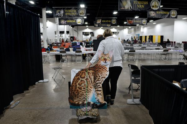 Manny of Maywood takes best in cat show: 'Nice depth of flank'
