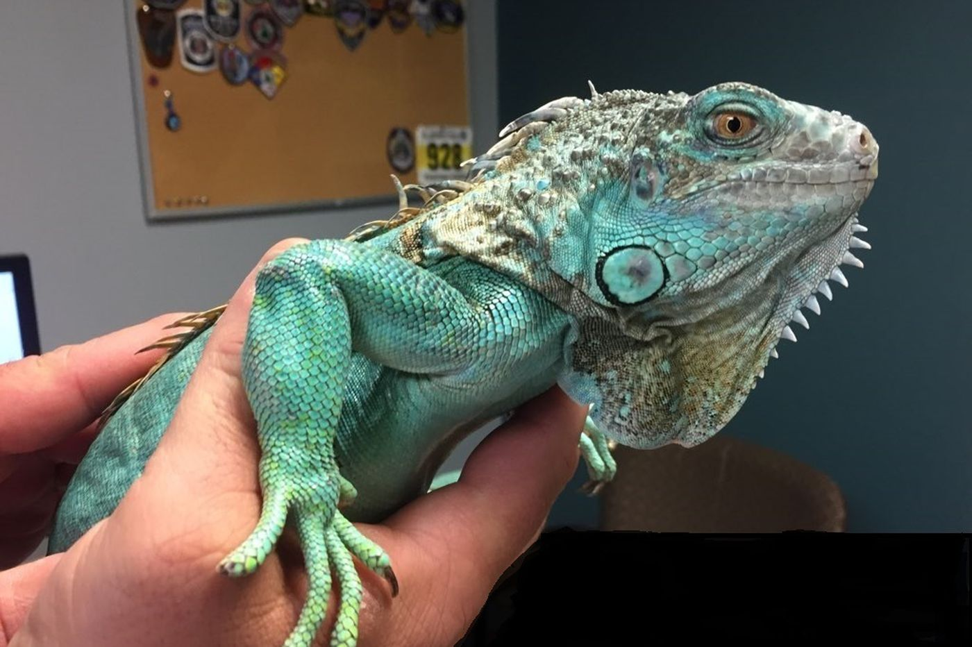 A man hurled his iguana at the manager of an Ohio restaurant, police say