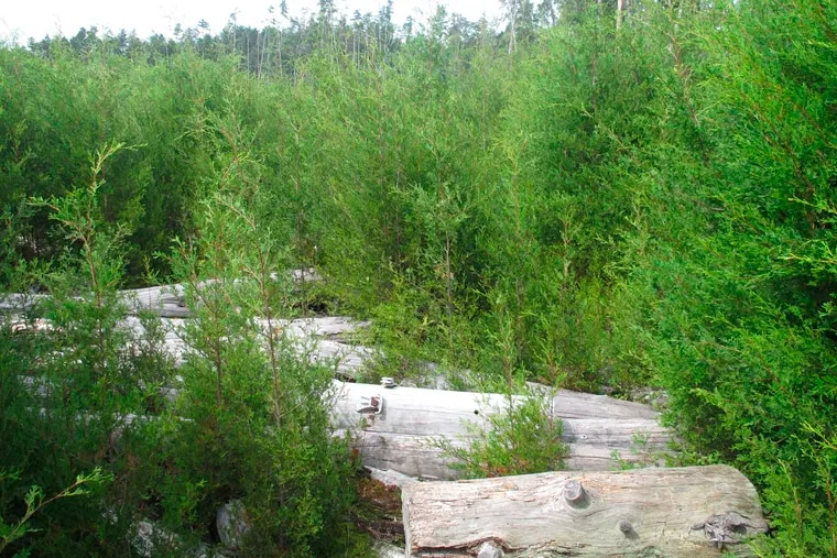 Young Atlantic white cedar trees growing in an area of Double Trouble State Park in Berkeley Township, where logging was once common.