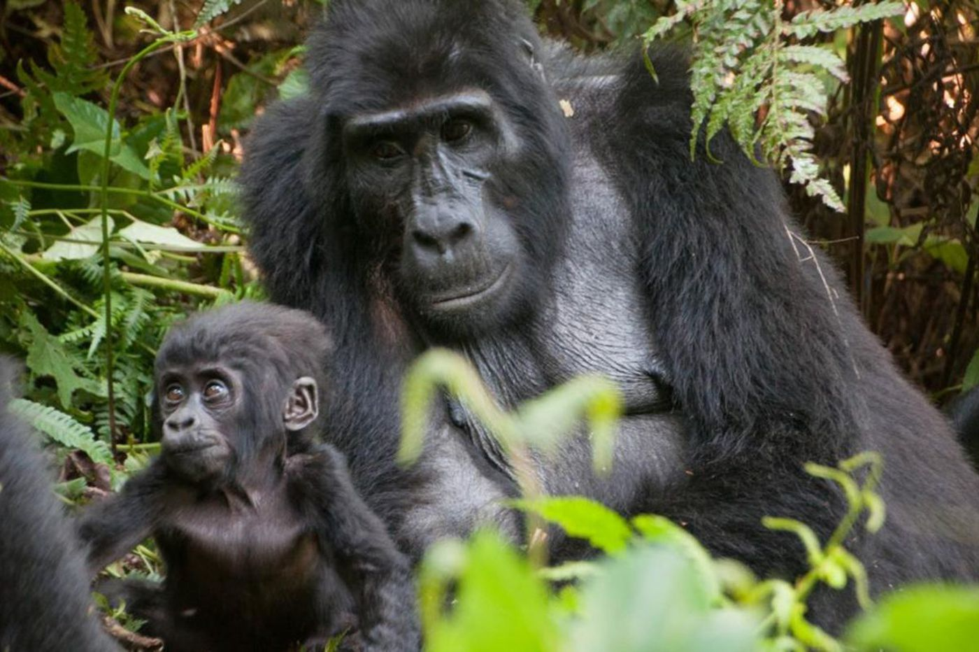 Uganda's mountain gorillas approach far closer than we expect. And that's a good thing