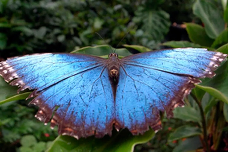 """Morpho Peleides, male. The indoor """"Butterflies"""" garden reopens Saturday at the Academy of Natural Sciences."""