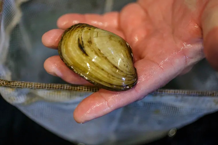 Detail of a large Yellow Lampmussel held by Lance Butler, a marine biologist with the Philadelphia Water Department, who works on the freshwater mussel program at Fairmount Water Works Interpretive Center hatchery.